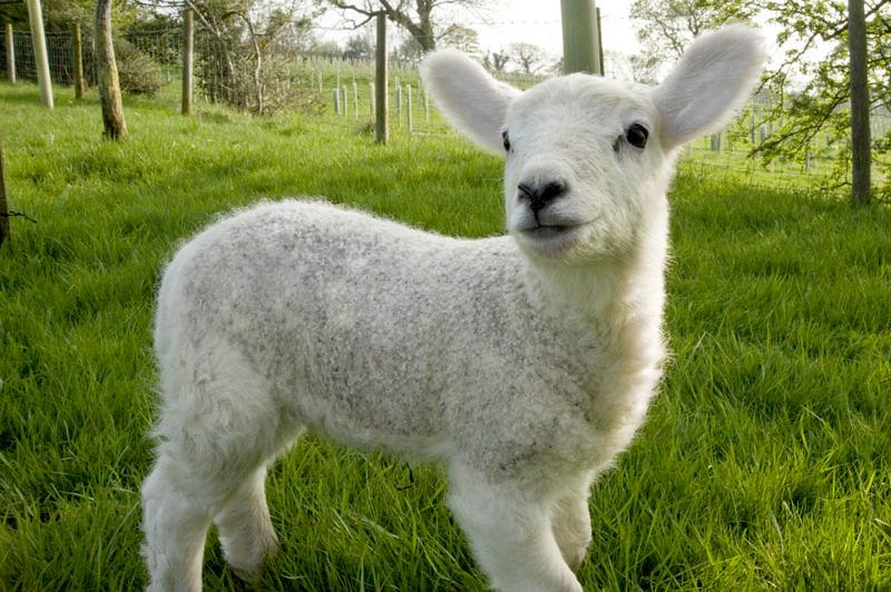 LambWatch Lamb