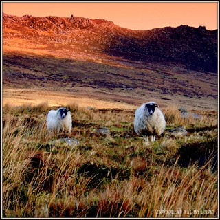 MOUNTAIN SHEEP. (WATERFORD, IRELAND)
