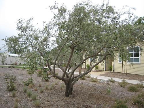 napa, calistoga, solage, olive, tree IMG_2551