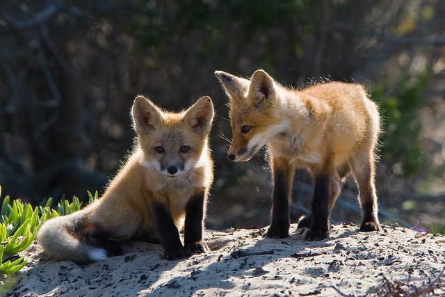5 of 5 Red Fox Pups Morro Bay, CA 26 May 2008