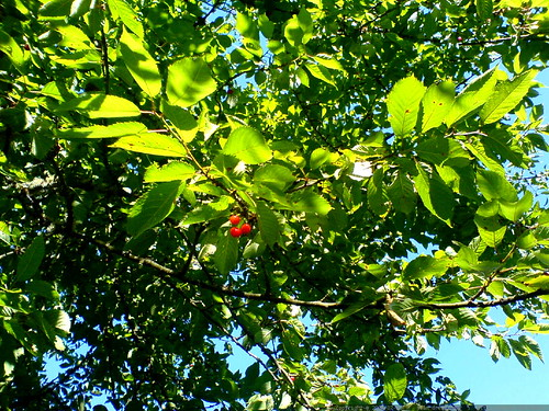 cherries on the front yard tree of our downhill neighbor   DSC01426