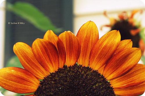 orange flower sunflower 1855mm