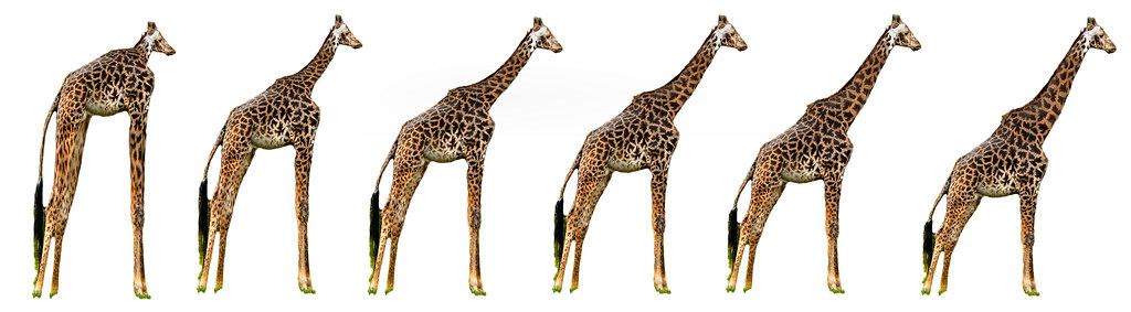 The evolution of the giraffe