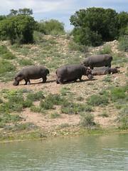 Hippopotamus at Buffelsdrift Game Lodge