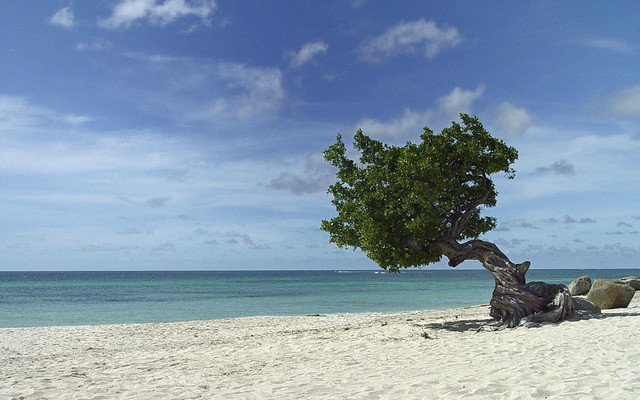 Aruba Divi Tree - Eagle Beach