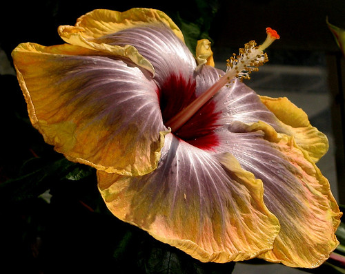 Fifth Dimension Hibiscus