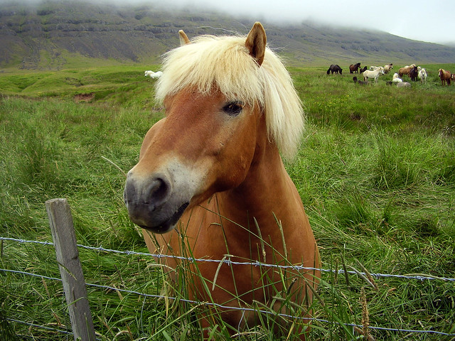 'BEAUTIFUL ICELANDIC HORSE'  -  'THE HORSES OF THE VIKINGS'