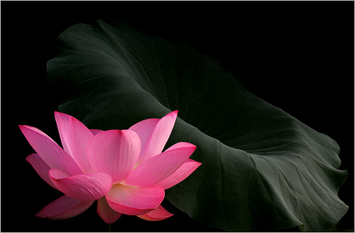 Lotus Flower and the Leaf - IMG_8697 - , ハスの花, 莲花, گل لوتوس, Fleur de Lotus, Lotosblume, कुंद, 연꽃, by Bahman Farzad