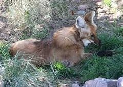 Chrysocyon_brachyurus_-_Phoenix_Zoo