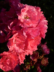 Flowers at North Point Park - Sprinkler dew on pink flowers