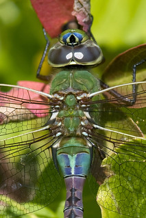 Common Green Darner Dragonfly (Anax junius) Close-up