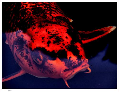 Calico koi goldfish and koi for Calico koi fish