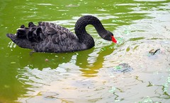 animal, black swan, water bird, swan, wing, fauna, beak, bird, wildlife,