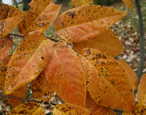 Serviceberry Leaves