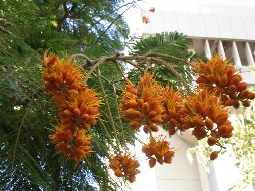 Colville's Glory flowers blooming, University of Hawai'i Manoa