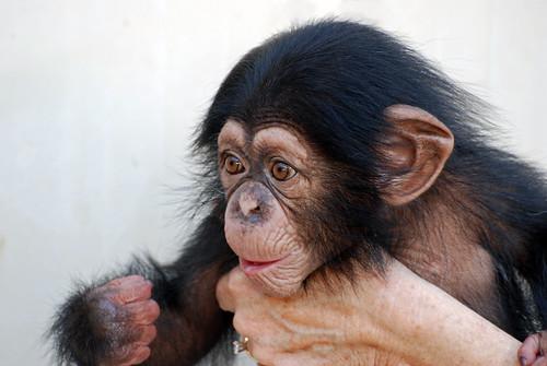 animal mammal monkey infant chimp florida ape sarasota chimpanzee juvenile primate rejected rescued dependent orphaned bigcathabitat michaelskelton michaeldskelton michaeldskeltonphotography
