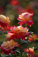 gorgeous roses