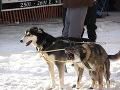 pet(0.0), street dog(0.0), greenland dog(0.0), wolfdog(0.0), east-european shepherd(0.0), animal(1.0), dog(1.0), vehicle(1.0), mammal(1.0), mushing(1.0), sled dog racing(1.0),