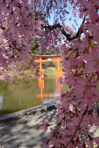 Torii in Blossom