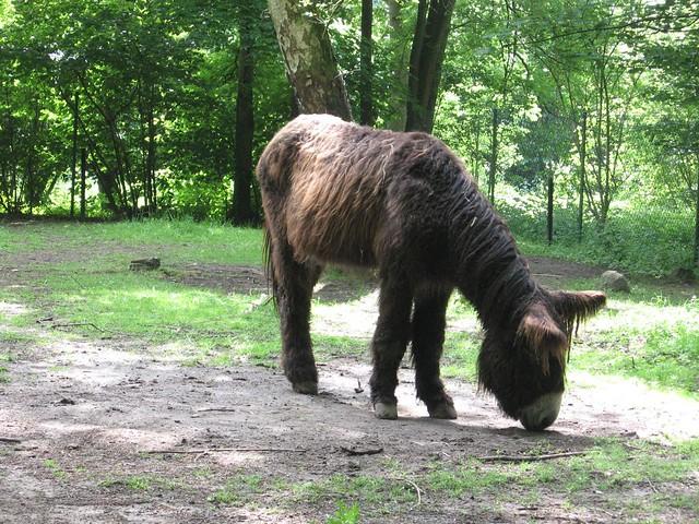 Poitou-ezel - Planckendael
