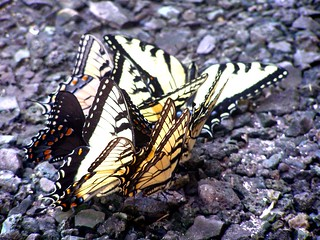 Swallowtail Party