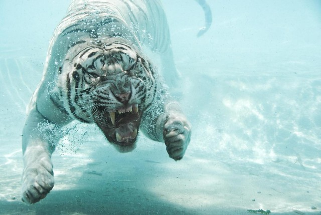 i'm a swimming tiger for you, baby