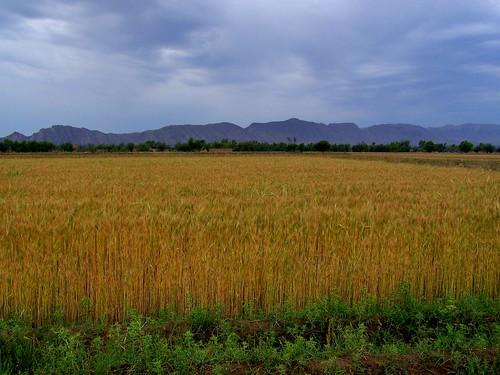 pakistan wheat fields agriculture punjab mianwali earthasia
