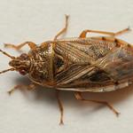gyékénybodobács - Chilacis typhae