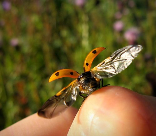 summer orange macro nature canon bug suomi finland insect wings hand bokeh maria flight images ladybird handheld ladybug sue seconds kesä kerimäki luonto laakso käsi oranssi hyönteinen manilabulletin leppäkerttu sormi anttola thistlefield insectphotography canonpowershota710is pinoykodakero sue323 larawangpinoy