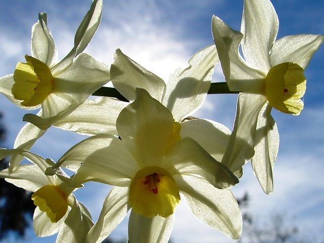 Flores de Narciso (o Junquillo).