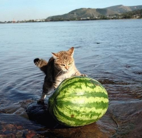 cat pushing watermelon out of the ocean