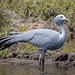Blue Crane - Photo (c) Brian Snelson, some rights reserved (CC BY)