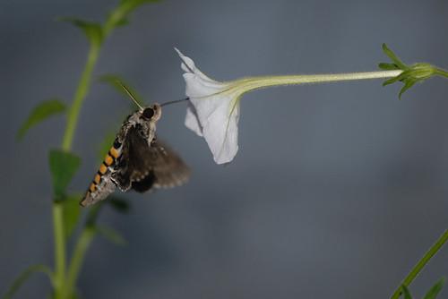 Manduca sexta and Petunia axillaris parodii DSC_5936