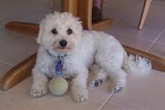 poodle(0.0), toy poodle(1.0), miniature poodle(1.0), bichon frisã©(1.0), dog breed(1.0), animal(1.0), dog(1.0), cavachon(1.0), schnoodle(1.0), pet(1.0), lagotto romagnolo(1.0), coton de tulear(1.0), bolonka(1.0), poodle crossbreed(1.0), havanese(1.0), morkie(1.0), bichon(1.0), dandie dinmont terrier(1.0), cockapoo(1.0), goldendoodle(1.0), maltese(1.0), bolognese(1.0), carnivoran(1.0),
