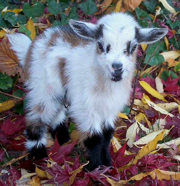 Nigerian Dwarf Goat Kid. www.TheBigWRanch.com | Flickr ...