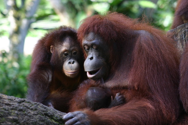 Orangutan Family, Singapore Zoo