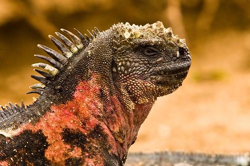 Galapagos: Marine Iguana (Amblyrhynchus cristatus venustissimus)
