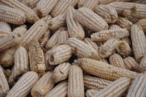 Aflatoxin infected maize