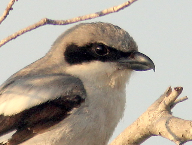 Loggerhead Shrike close 20110605