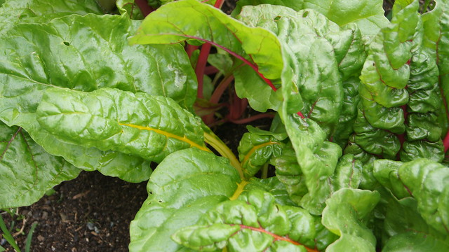 Swiss chard in the Children's Garden. Photo by Alexandra Muller.
