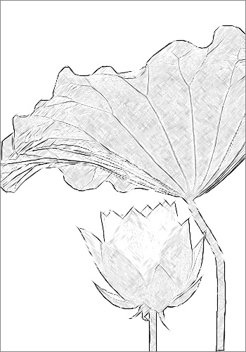 Sketch of Lotus Flower and Leaf