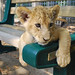 Serabi the Lion Cub