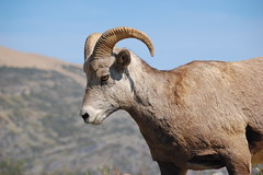 sheeps(0.0), sheep(0.0), cattle(0.0), cattle-like mammal(1.0), animal(1.0), argali(1.0), mammal(1.0), horn(1.0), barbary sheep(1.0), fauna(1.0), close-up(1.0), wildlife(1.0),