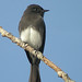 Black Phoebe - Photo (c) Len Blumin, some rights reserved (CC BY-NC-ND)