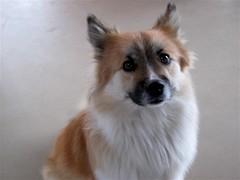 german spitz klein(0.0), japanese spitz(0.0), norwegian buhund(0.0), german spitz(0.0), greenland dog(0.0), finnish spitz(0.0), rough collie(0.0), shetland sheepdog(0.0), dog breed(1.0), animal(1.0), dog(1.0), eurasier(1.0), volpino italiano(1.0), german spitz mittel(1.0), norwegian lundehund(1.0), carnivoran(1.0), icelandic sheepdog(1.0),