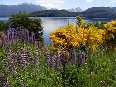 Flowers by Lake Nahuel Huapi