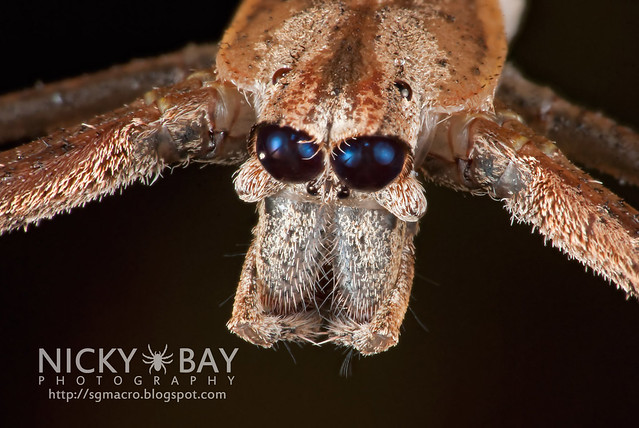 Face to Face with an Ogre (Deinopis sp.) - DSC_8765