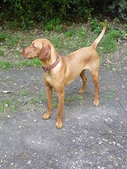 wirehaired vizsla(0.0), dog breed(1.0), animal(1.0), segugio italiano(1.0), dog(1.0), redbone coonhound(1.0), pet(1.0), hunting dog(1.0), carnivoran(1.0), vizsla(1.0),