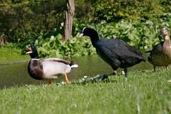 Ducks in the park (2) Bully!