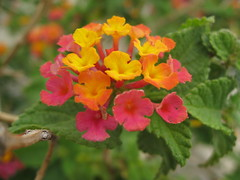 annual plant, flower, plant, wildflower, flora, lantana camara, herbaceous plant,